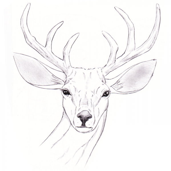 ... Related Pictures How To Draw Animals Realistic How To Draw A Realistic